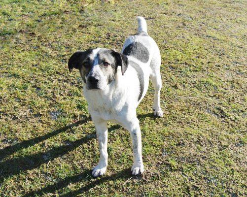 Zwart wit gevlekte hond