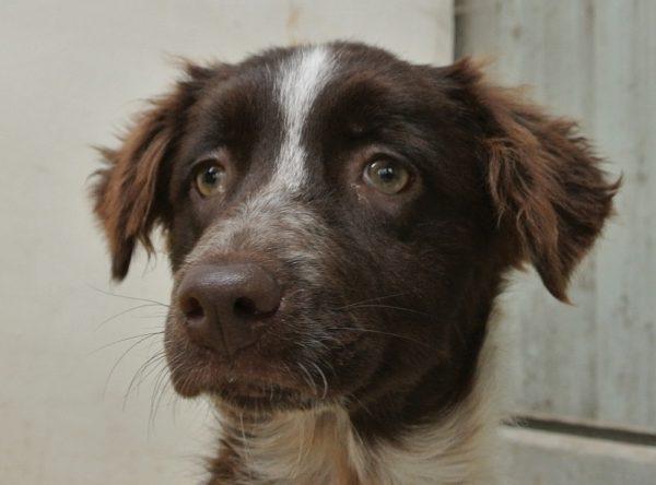 Jachthond pup ter adoptie bij SOS Dogs