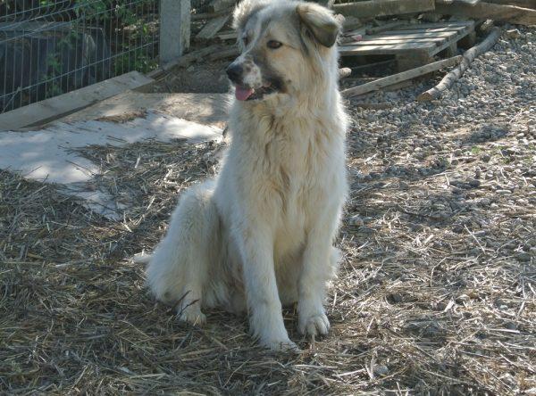 Berghond ter adoptie bij SOS Dogs