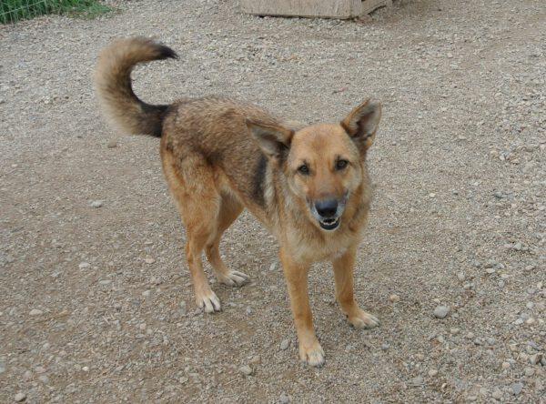Herder ter adoptie bij SOS Dogs