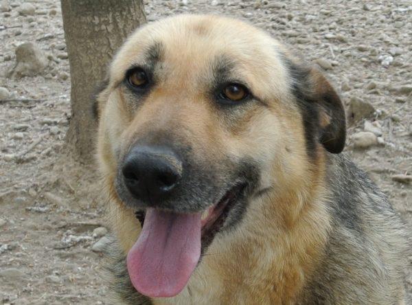 Herder Mirela ter adopte bij SOS Dogs