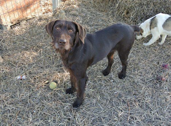 Jachthond ter adoptie bij SOS Dogs