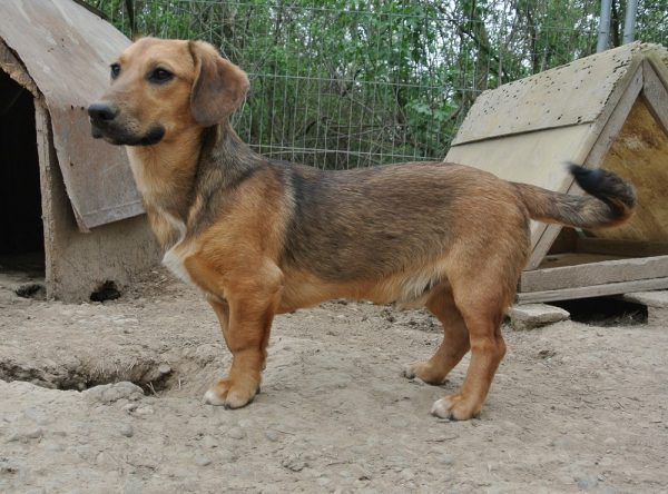 Teckel pup ter adoptie bij SOS Dogs