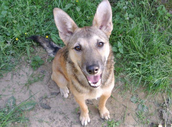Kleine herder ter adoptie bij SOS Dogs