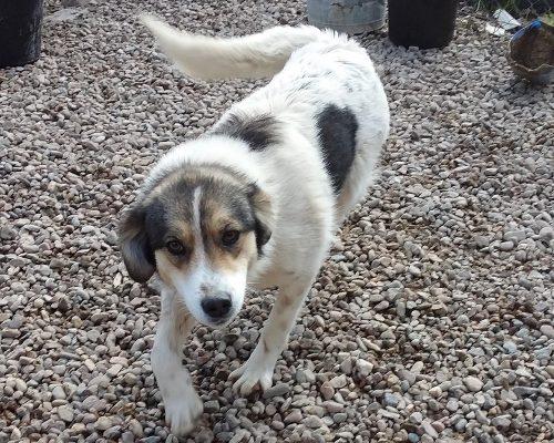 Hond Bella ter adoptie bij SOS Dogs