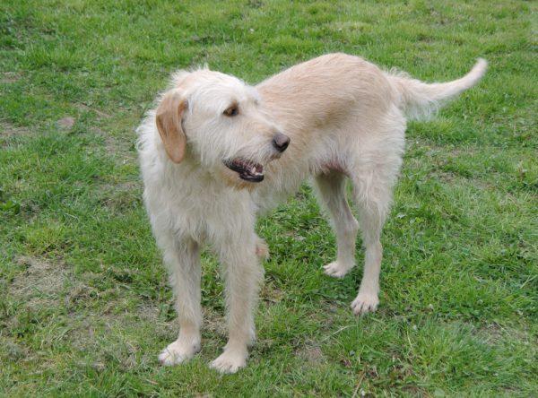 Dunja, grote ruwharige staande hond