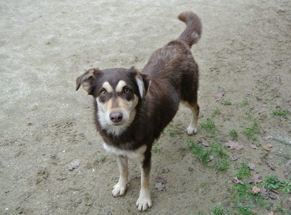 Husky kruising ter adoptie