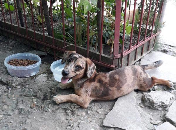 Teckel mix ter adoptie bij SOS Dogs