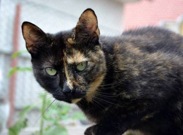 Poes Two-Face ter adoptie bij SOS-Dogs