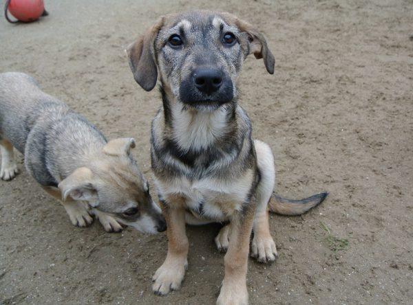 Pup 4 maanden ter adoptie bij SOS Dogs
