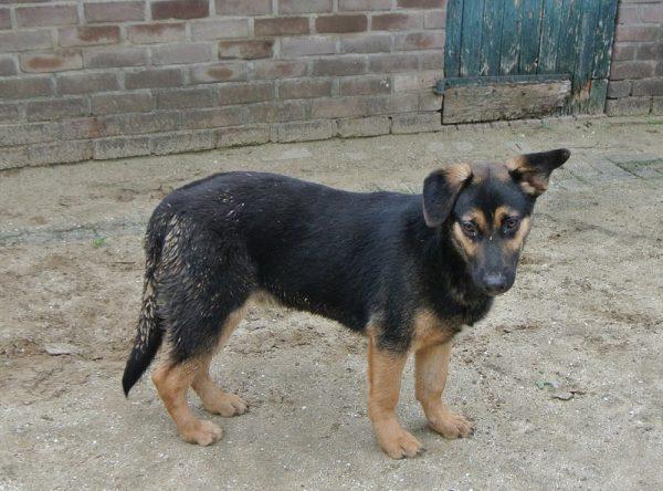 Kruising Duitse herder pup ter adoptie
