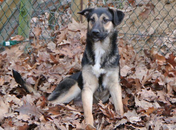Herder mix pup ter adoptie