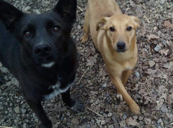 Zwart jong hondje ter adoptie