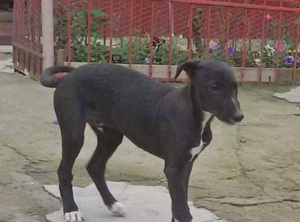 Greyhound pup ter adoptie