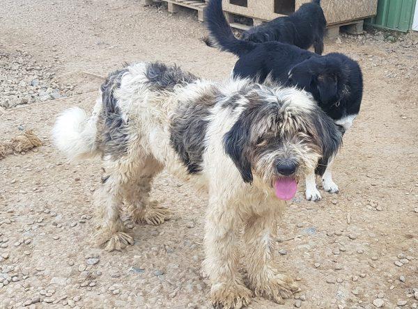 Roemeense Mioritic herdershond
