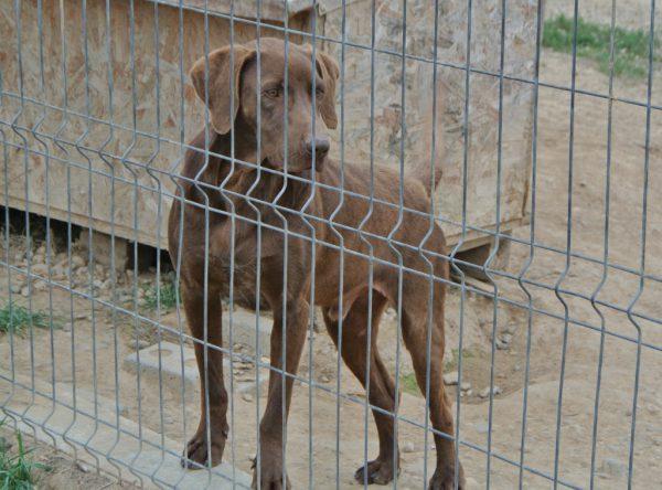 Bobi grote bruine hond