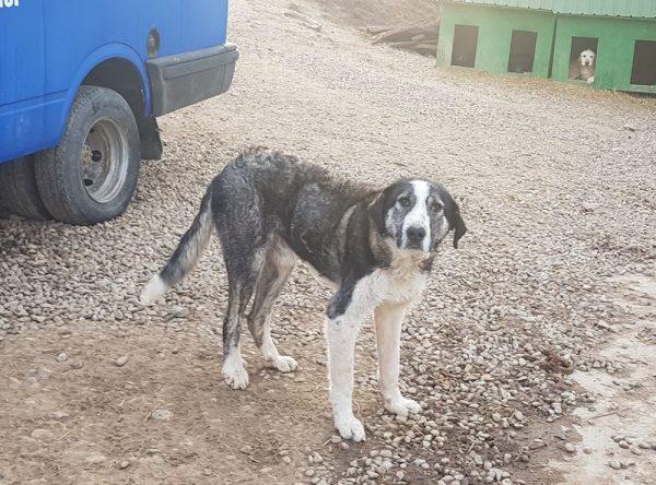 Grote reu ter adoptie bij SOS Dogs