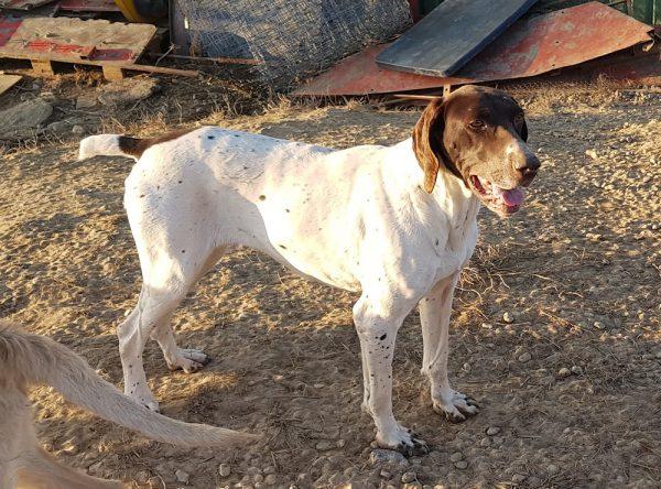 Jachthond ter adoptie
