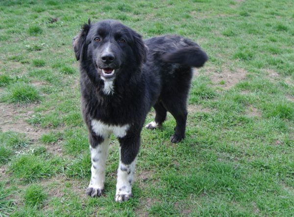 Luna grote zwarte hond