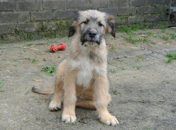 Pup Teddy ter adoptie