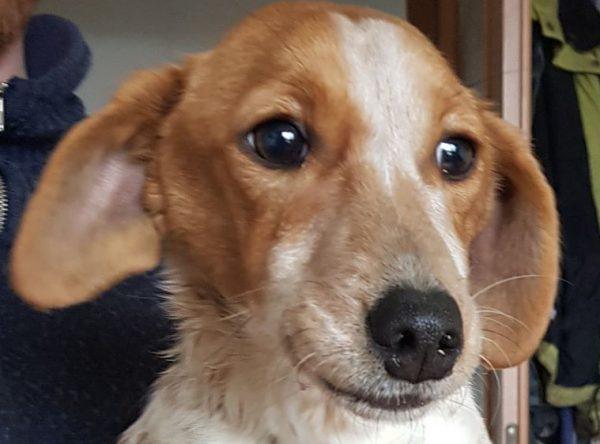 Pup teckel mix ter adoptie