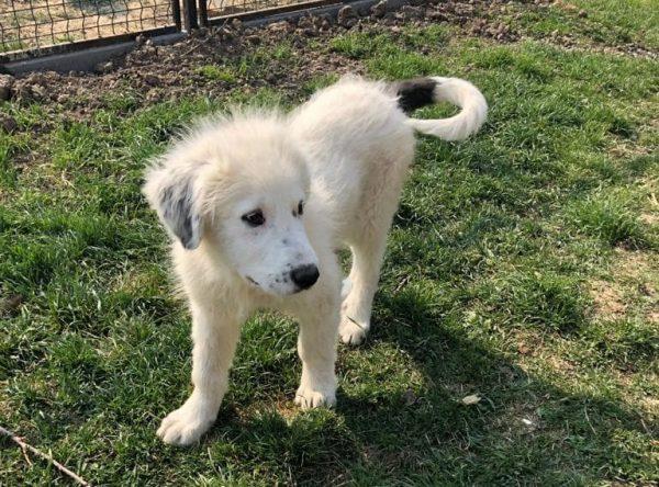 Puppy Buck ter adoptie