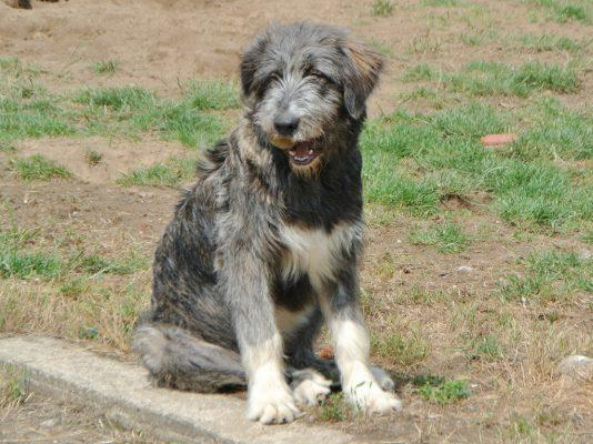 Igor Roemeense herdershond