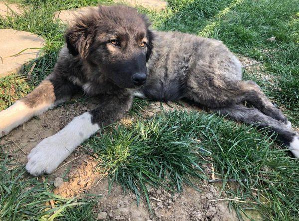 Pup Melissa Mioritic herder mix