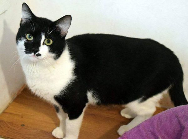 Patrick, zwart-witte kater ter adoptie