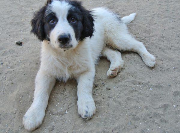 Pike, zwart witte pup