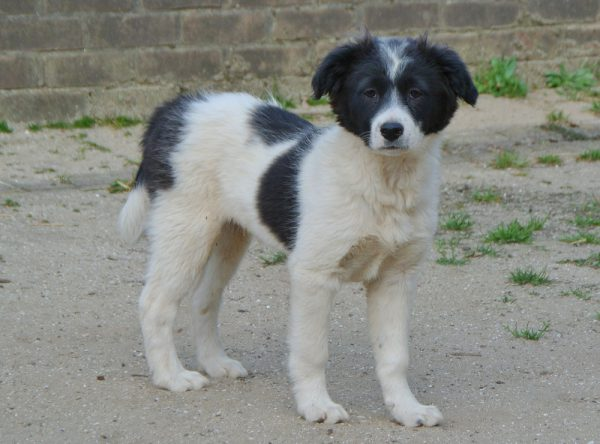 Pup Pino ter adoptie