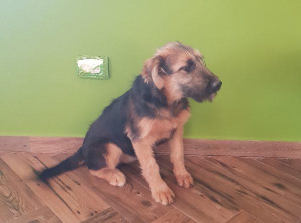 Abba, herder mix pup