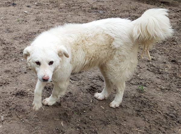Aura, prachtige witte hond
