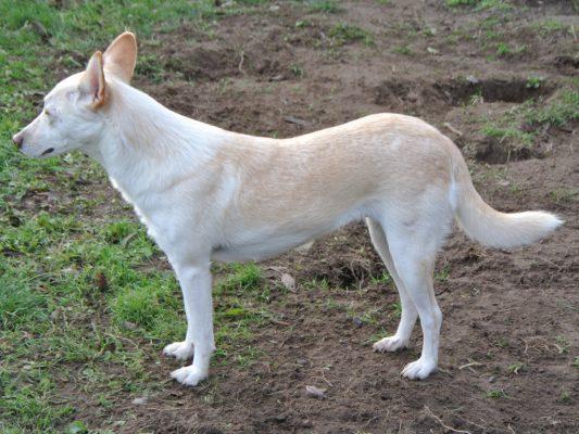 Donja wit middelgroot hondje