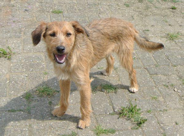 Romy, ruwharige pup ter adopti