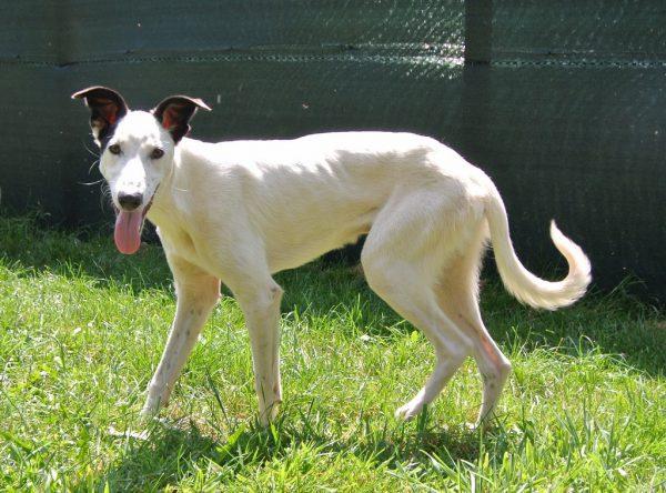 Greyhound zoekt baasjes