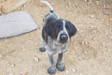 Duitse staande draadhaar pup