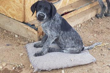 Pup Senna draadhaar vacht