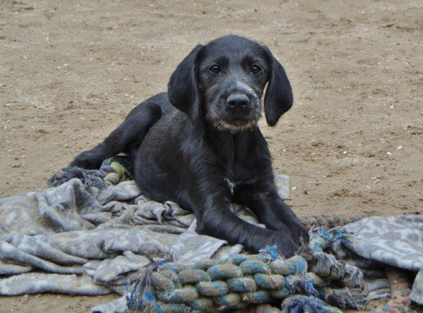 Pup Sofie Duitse staande hond