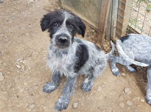 Jachthond pup ter adoptie