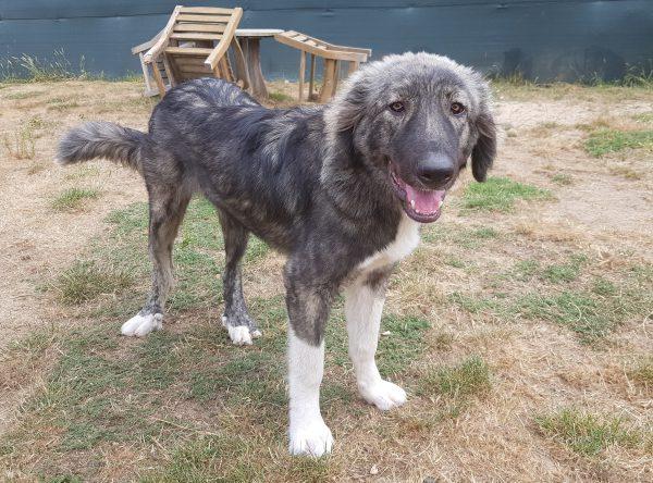 Leuke grote hond ter adoptie