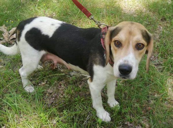 Beagle zoekt lieve baasjes