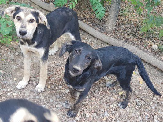 Kruising pups ter adoptie