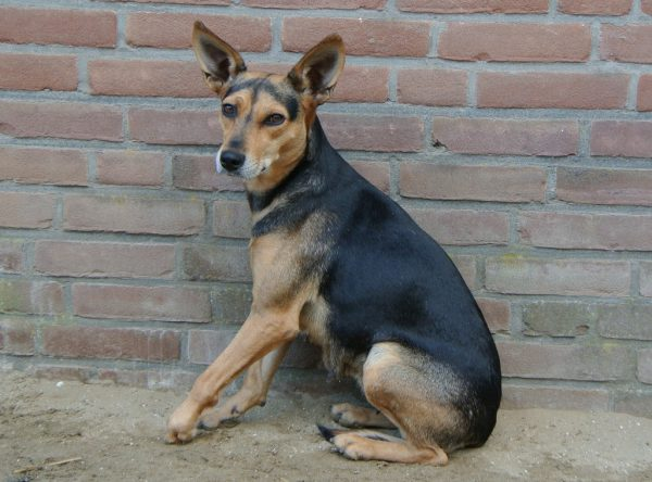 Black and tan hondje