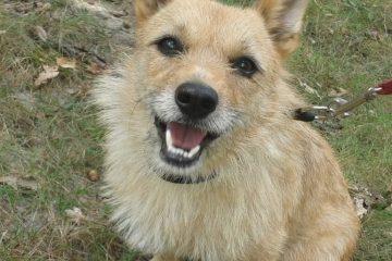 Leuk ruwharig hondje ter adoptie