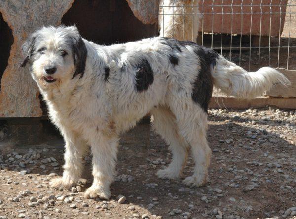 Hond adopteren: Roemeense herder