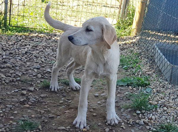 Pup Dalia labrador mix