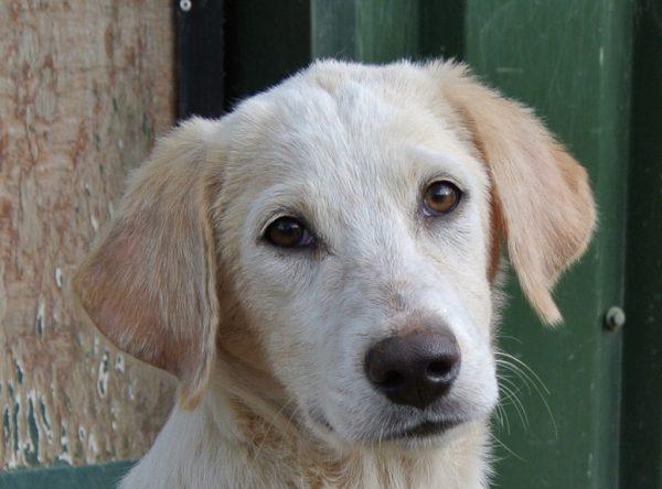 Demo lief labrador pupje