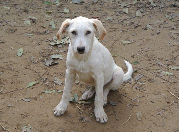Labrador mix pup ter adoptie