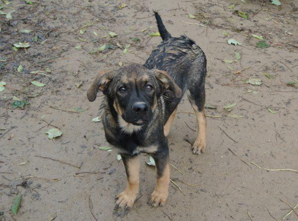 Jari herder mix puppy
